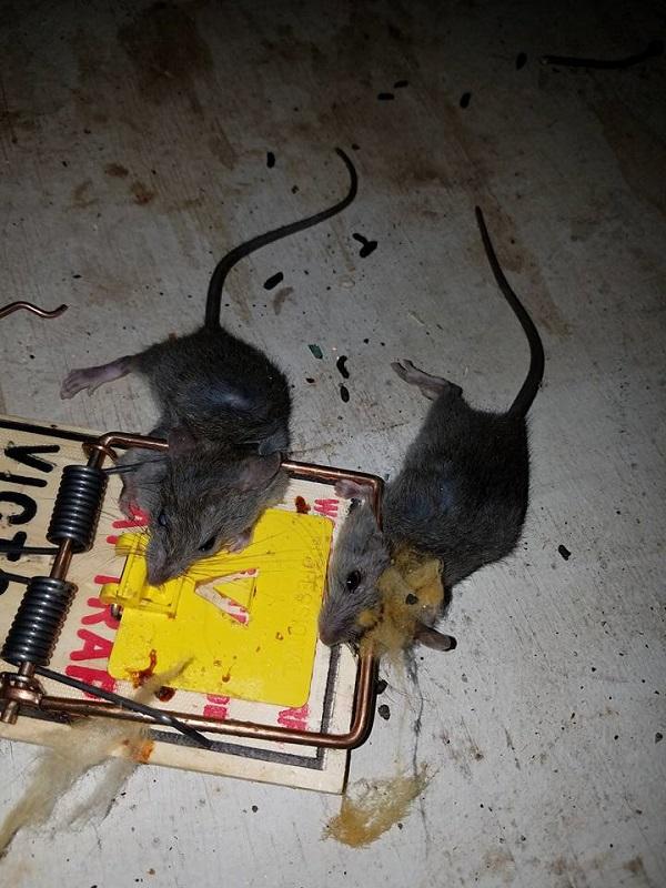 homemade mouse poison baking soda homemade mice poison white homemade mouse poison baking soda mice homemade .