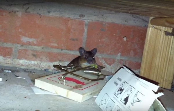 what if a house mouse got inside my house bedroom kitchen etc - Kitchen Etc