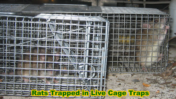 Are Cage Traps A Good Option For Mice